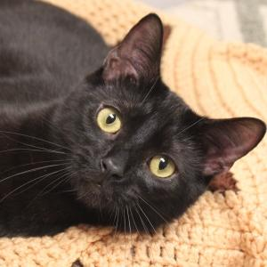 Hardee: Domestic Short Hair-Black, Cat; Naperville, IL