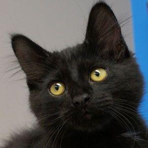 Preston: Domestic Long Hair, Cat; Naperville, IL