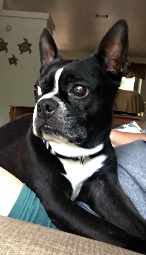 boston terrier rescue fl available for adoption boston terrier rescue of florida 3024