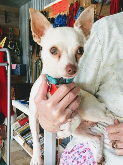 chihuahua rescue houston adopt a chihuahua in spring tomball tx near houston 5073