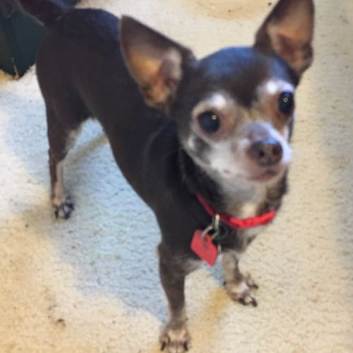 chihuahua rescue houston adopt a chihuahua in spring tomball tx near houston 7929
