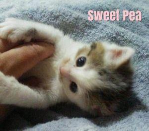 . Sweet Pea .